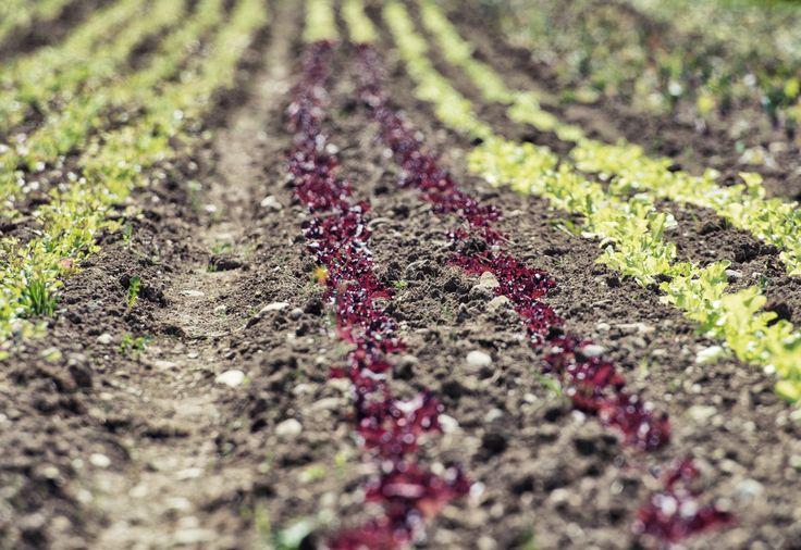 Auf 10.000 m² bauen wir seit Frühjahr frisches, bio-zertifiziertes Gemüse, Salat und Kräuter an. Das Feld liegt direkt vor unserer Haustür und ist so ein Garant für viele Vitamine und Nährstoffe, da wir das Gemüse täglich frisch ernten und verarbeiten. In unserem Restaurant Roseninsel kommt diese Frische auf den Tisch – im Rahmen einer hochwertigen Auswahl an á la carte Gerichten.