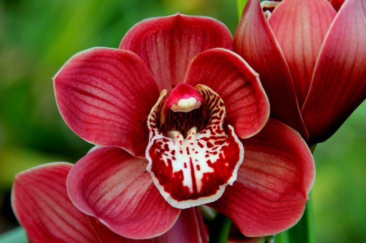 kleine rode Cymbidium Orchidee Foto Leen de Ruiter