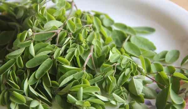 فوائد شجرة المورينجا للتخسيس Moringa Benefits Moringa Leaves Moringa Seeds