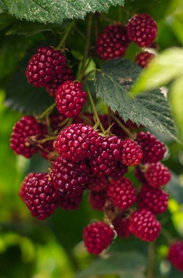 Juicy red raspberries, bursting with sweetness!