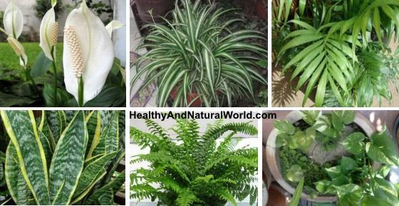 These plants are OXYGEN bombs – have at least one of them to clean and detoxify the air at home