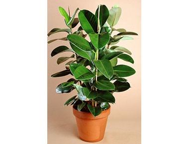 ficus elastica robusta indoor plants pinterest ficus elastica and ficus. Black Bedroom Furniture Sets. Home Design Ideas