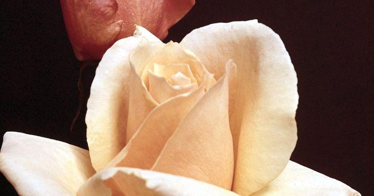 Quais buquês valorizam um vestido de casamento marfim?. Vestidos de casamento da cor marfim são uma escolha universalmente lisonjeira para noivas de qualquer idade. Os tons dourados e quentes de um vestido marfim valorizam todos os tons de pele, deixando-a radiante. Enquanto isso, os vestidos totalmente brancos são severos e podem empalidecer as peles mais claras ou podem destacar saliências, mesmo no ...