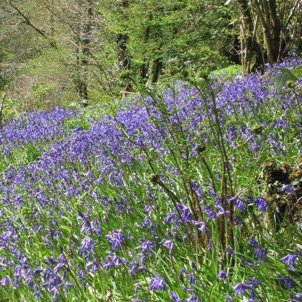 """Hyacinthoides non-scripta - Diese wilde Waldhyazinthe wird manchmal auch """"English Blue Bells"""" genannt. Pflanzzeit ist im Herbst - online erhältlich bei www.fluwel.de"""