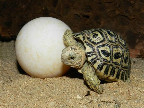 normal size legs for a leopard tortoise - Google Search