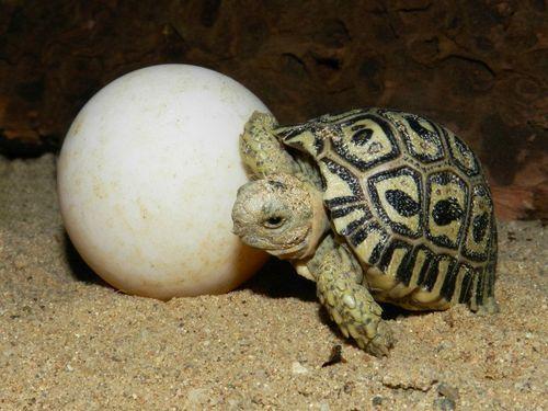Baby Leopard Tortoise!