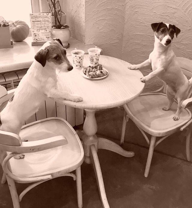 Девочки -любительницы кофе ☕️:)☕️️#скорозима #собачники #собачьяжизнь #джекрасселтерьер #джекрассел #джек #jrt #instagood #instalife #instahappy #кофе #dogstagram