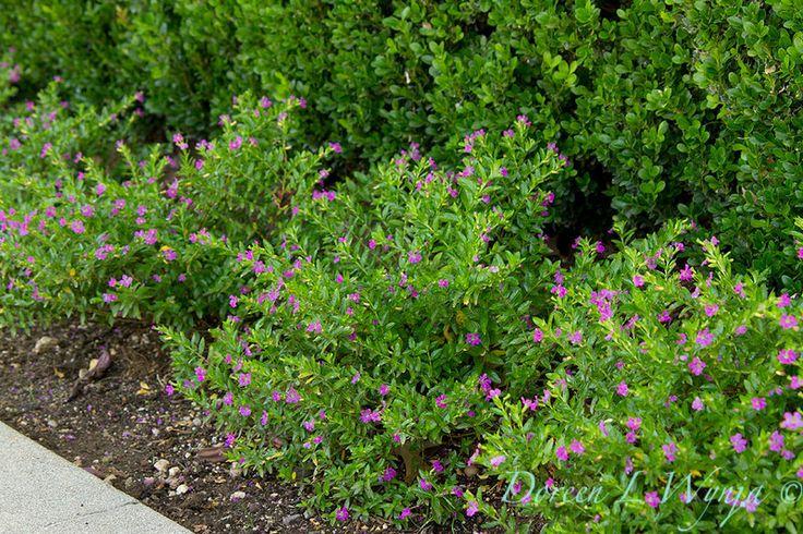 Cuphea hyssopifolia - false heather. Around fountain, in between jasmine on side fence