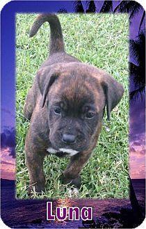 Saratoga Springs, NY - American Bulldog/Labrador Retriever Mix. Meet PUPPIES ❤ DOB 6/03/17!, a puppy for adoption. http://www.adoptapet.com/pet/18754430-saratoga-springs-new-york-american-bulldog-mix