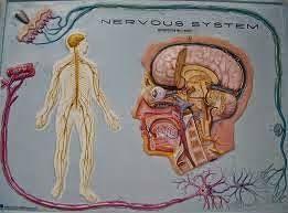Resultado de imagen para como hacer una maqueta del sistema nervioso central y periferico