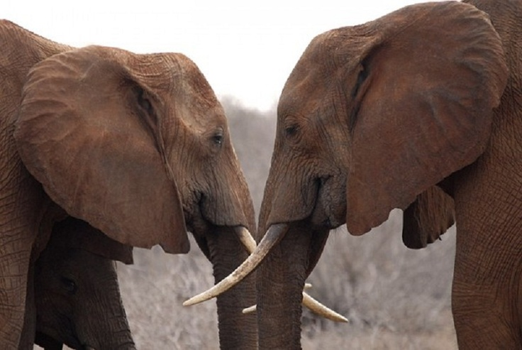 All About Elephants Facts | Natural Wonders: Ten Facts about Elephants
