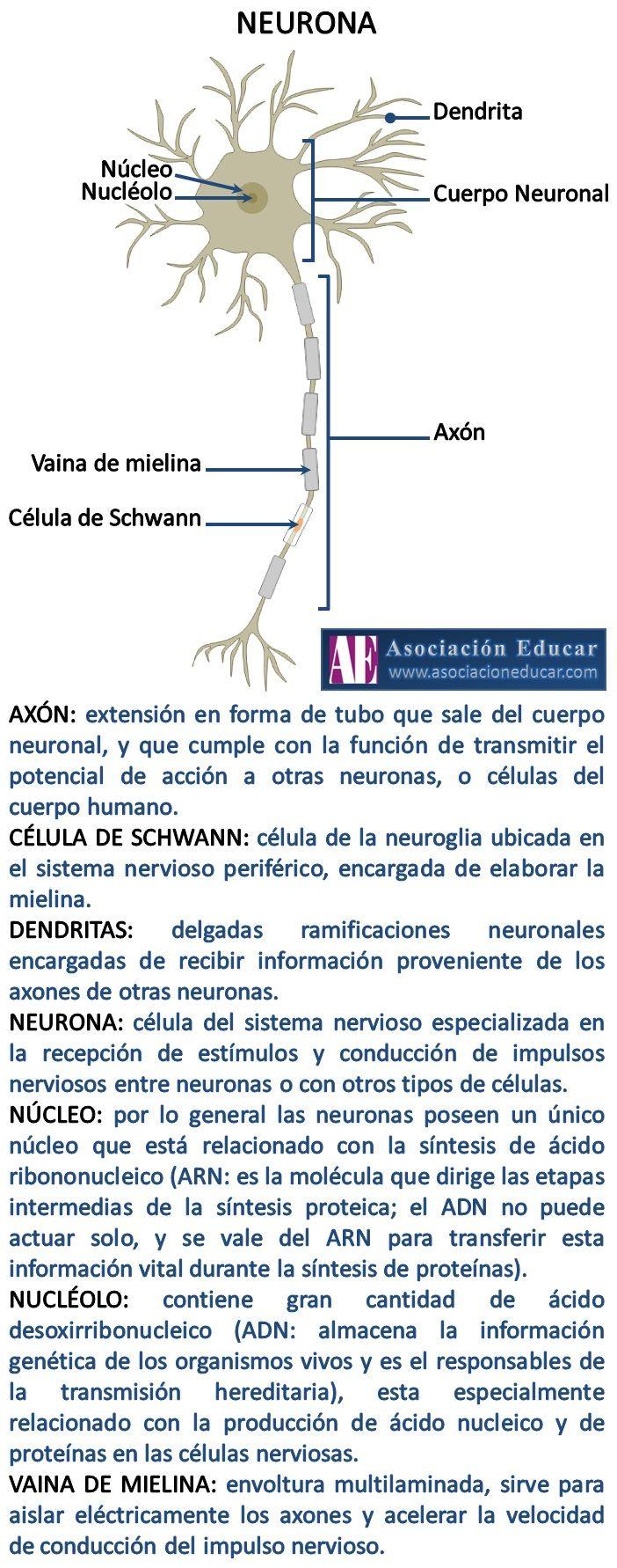 Infografía Neurociencias: Axón; Célula de Schwann; Dendritas; Núcleo; Nucléolo; Vaina de mielina. | Asociación Educar