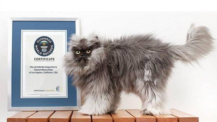 Il colonnello Meow è il gatto con il manto più lungo del mondo e nel 2014 il suo nome comparirà sul libro dei Guinness dei primati. Meow, nato dall'accoppiamento di un persiano con un himalayan, vanta un pelo che raggiunge i 22,87 cm di lunghezza. I suoi proprietari, Anne Marie