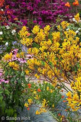 Kangaroo paw. Great for accent flower in outside urn pieces