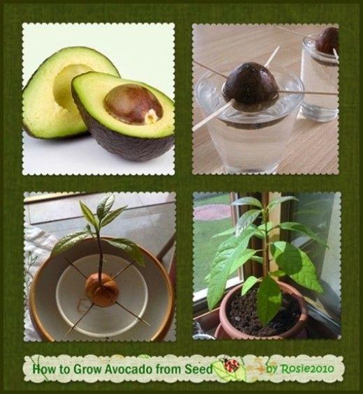 como cultivar aguacate