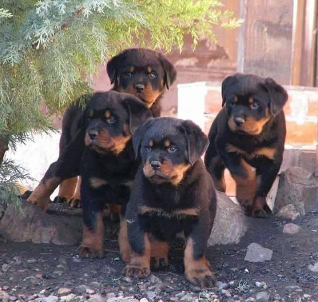 #Rottweiler #puppies!