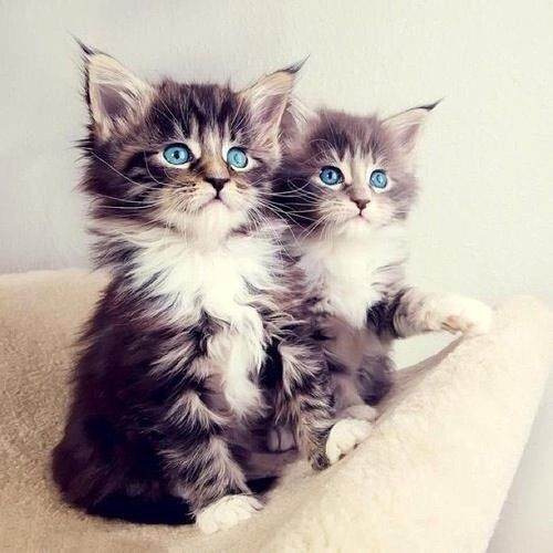 Cute kittens cute animals adorable kittens blue eyes animal pictures