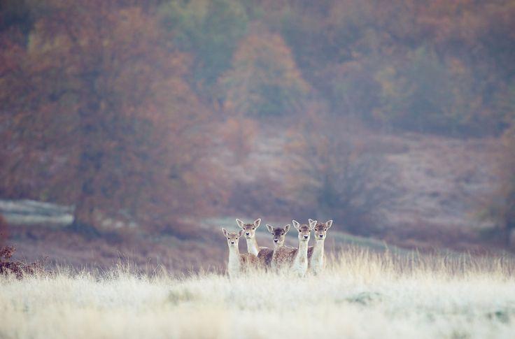 Deer - frosty by Mark Bridger on 500px
