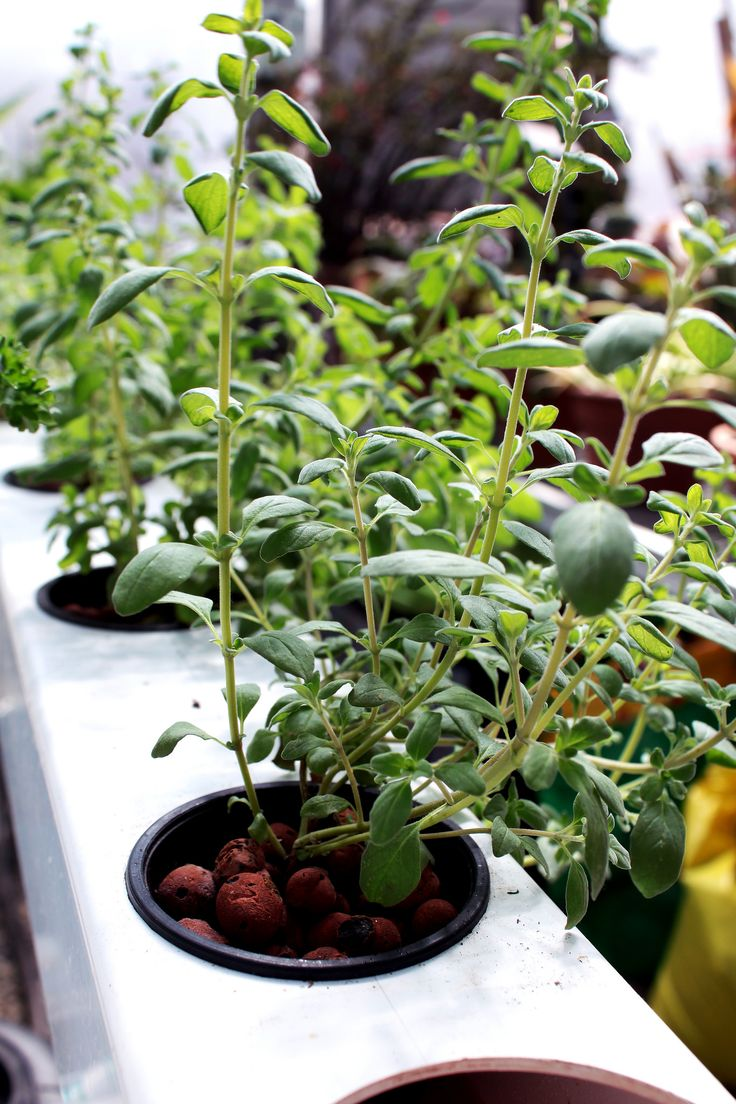 Hydroponic Kitchen Herb Garden 17 Best Ideas About Hydroponic Growing On Pinterest Hydroponic