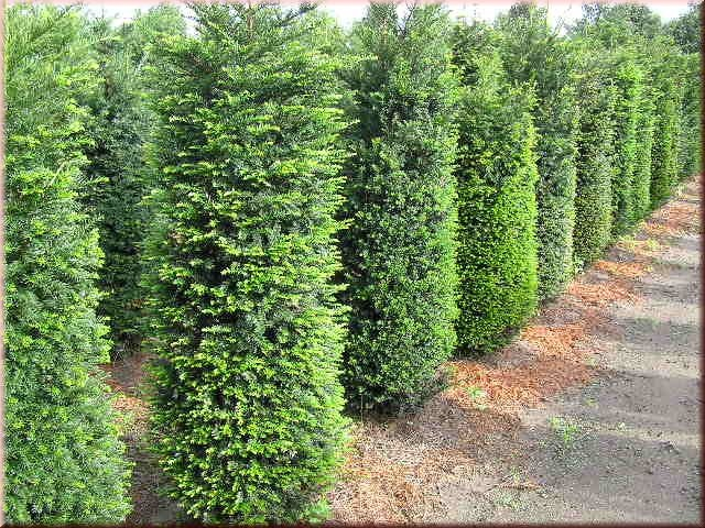 1000 ideas about taxus baccata on pinterest hedges topiary garden and formal gardens. Black Bedroom Furniture Sets. Home Design Ideas