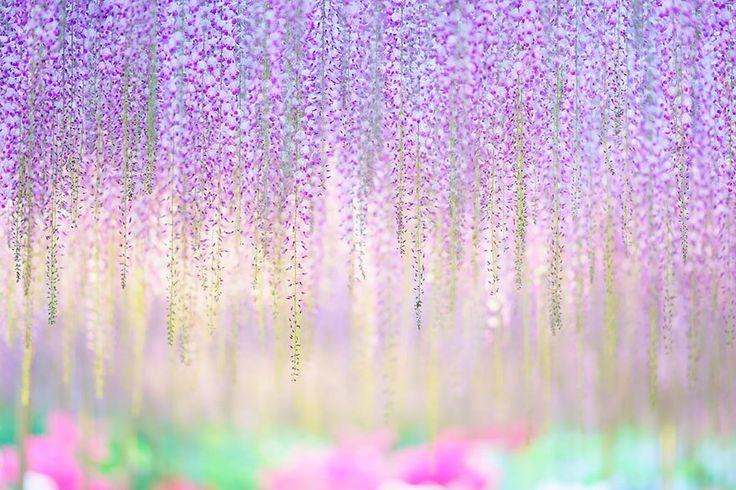 """""""ピンクの空""""が栃木に。海外でも絶賛される""""奇跡の藤""""の幻想的すぎる美しさ   by.S"""