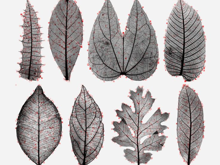 A paleobotanist and a computational neuroscientist used 7,597 images of leaves to teach a computer about botany.