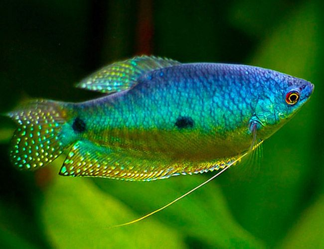 Blue gourami fish in the water pinterest chang 39 e for Peaceful freshwater fish