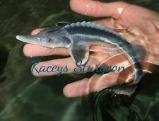 Beluga sturgeon rare hybrid 6-8inch koi fish pond