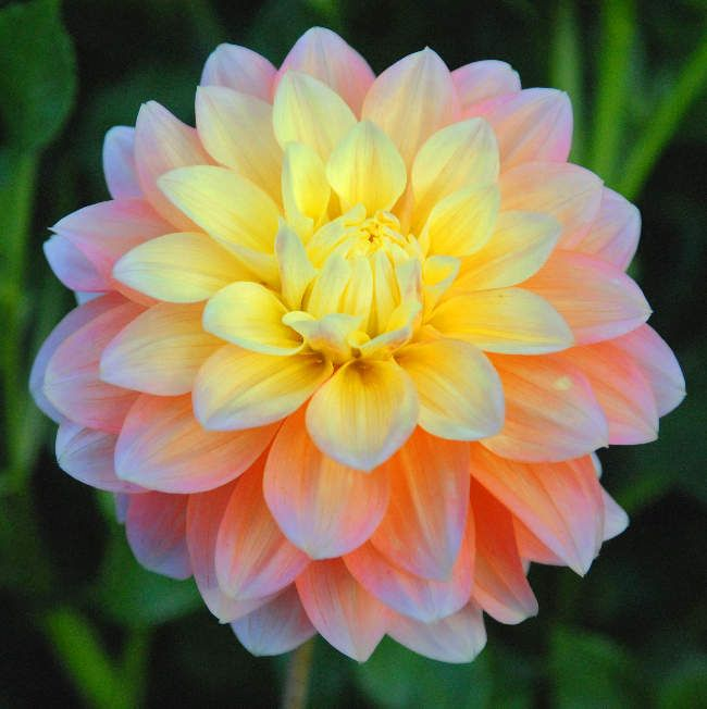 "Peaches and Dreams, from Swan Island Dahlias, 5"" beautiful peach flower that blends to a soft yellow in the centre. Not a good tuber maker.."
