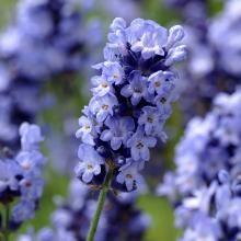 Lavendel 'Hidcote Blue', 15 cm, 3er Set
