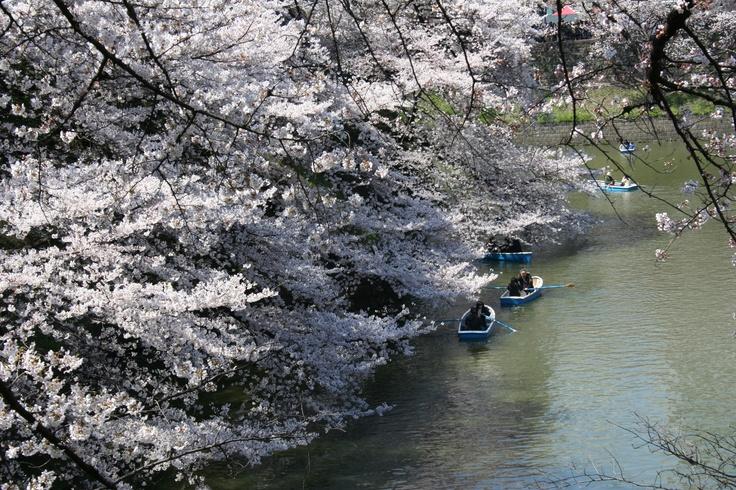 Sakura at Chidorigafuchi in Tokyo.