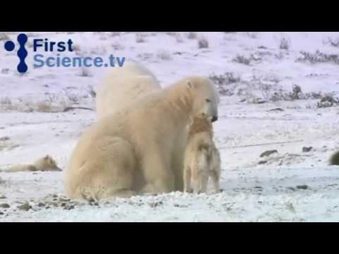 Orso polare gioca e abbraccia cane da slitta !