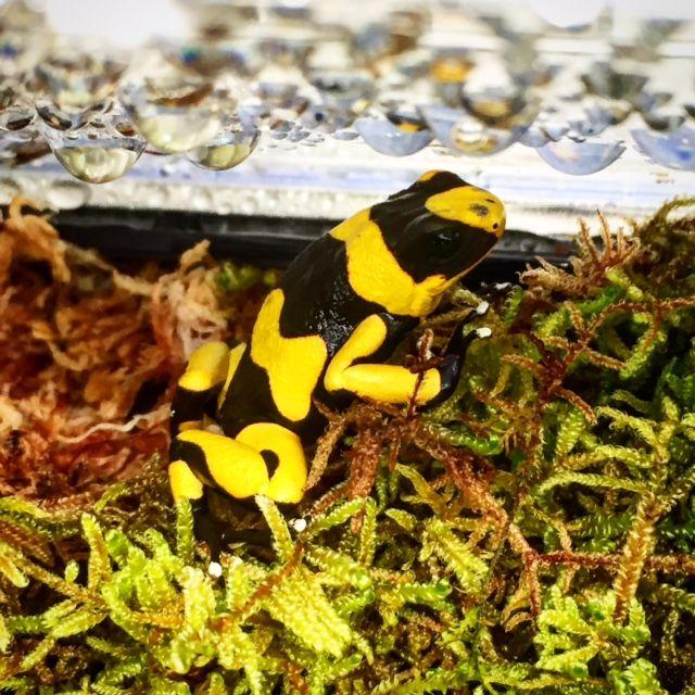 Yellow Lehmanni