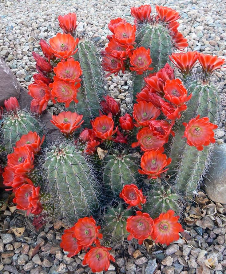 Orange cactus flowers