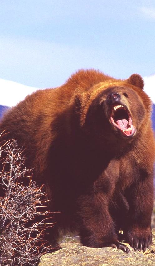 angry bear...yogi really wants that picinic basket lol