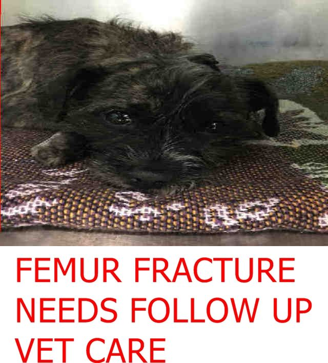 MEGA URGENT  TIRAMISU – A1126628  **FEMUR FRACTURE NEEDS FOLLOW UP VET **  FEMALE, TRICOLOR, AFFENPINSCHER MIX, 2 yrs STRAY – Intake condition INJ MINOR Brooklyn  Date 09/26/2017  http://nycdogs.urgentpodr.org/tiramisu-a1126628/