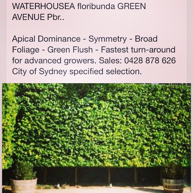 Pleached Perfection. (An actual Waterhousea Green Avenue hedge in Melbourne). Excellent substitute for Ficus hillii or Ficus Flash.. www.bangalownursery.com