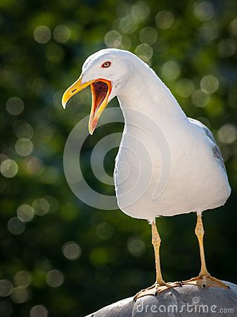 Seagull call. White bird with opened beak.
