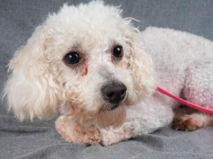 ADOPT ME  – Meet BASHFUL, a 4 years 4 months Poodle, Miniature available for adoption in COLORADO SPRINGS, CO
