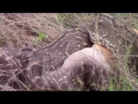 Giant Anaconda Attacks Human Caught on Camera | anaconda attacks man| Wh...