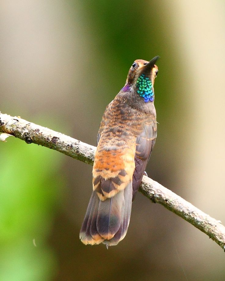 Brown Violetear - Central America & W. & N. South America with isolated populations on Trinidad, & Bahia, Brazil