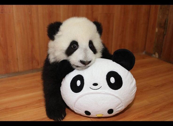 A baby panda from the Ya'an Bifengxia Base of China Conservation and Research Centre for the Giant Panda playing with its own plush panda toy.