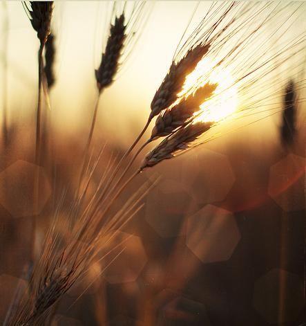 Nell'Alta Maremma torna il grano antico e il pane diventa più buono e più sano