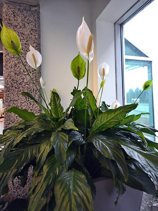 Spathiphyllum clevelandii - Peace Lily/White Sails
