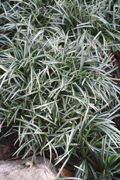 Dwarf Striped Mondo Grass for sale buy Ophiopogon japonicus 'Fuiri Gyoku Ryu'