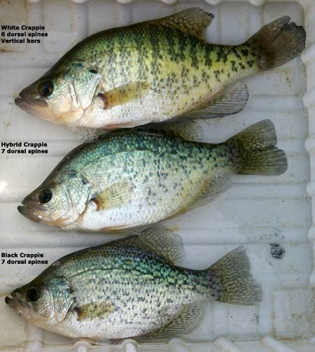 1058 best images about love to fish on pinterest lakes for Ice fishing for bass
