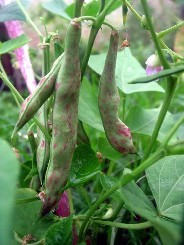 52 Best Bean Plants Images On Pinterest Bean Plant 400 x 300