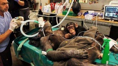 Детеныш шимпанзе растрогал в…