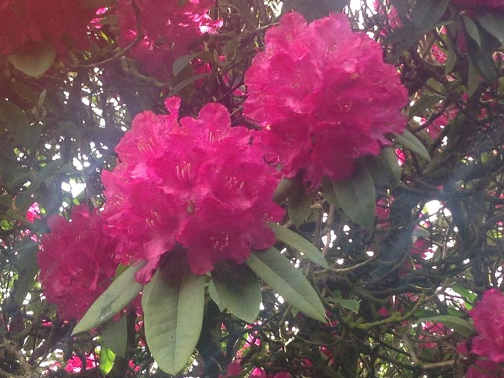 Rhododendrons in full bloom now on the Castle lawns...very pretty in pink!