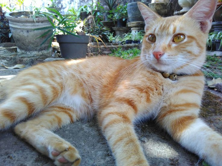 My ginger cat, Jahe. Tulungagung, circa 2016